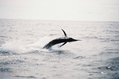 tn_1200_BlackMarlin.jpg